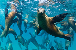 Clean sea with Sealions and seals
