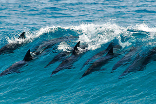 Dolphins surfing in a Clean ocean